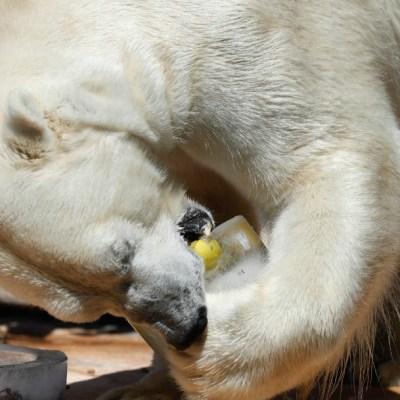 Osos polares en el Ártico se ven obligados a comer plástico, dice científico