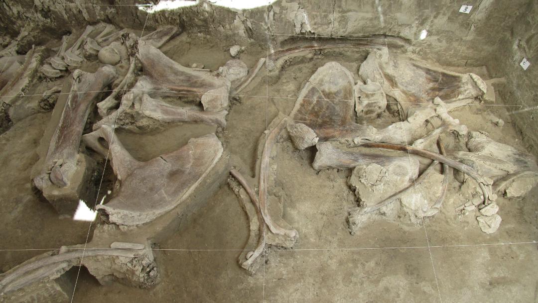 Foto: El arqueólogo dijo también que nunca se había encontrado una gran cantidad de huesos de mamut en un único sitio, 6 de noviembre de 2019 (INAH)