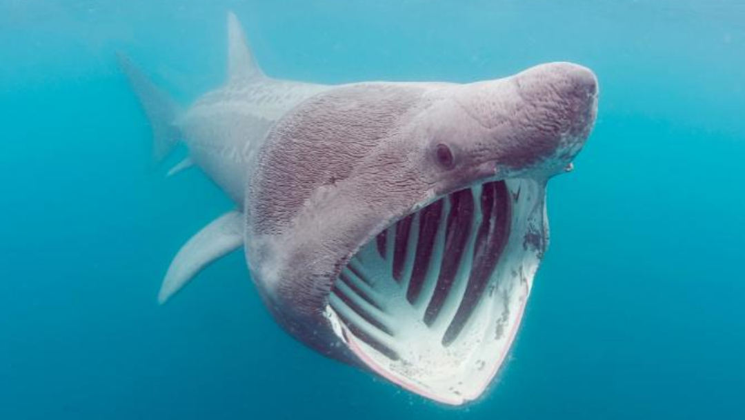 Extraña especie de tiburón en peligro de extinción resurge en el Atlántico