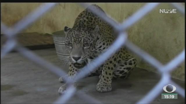 aumenta poblacion del jaguar en campeche