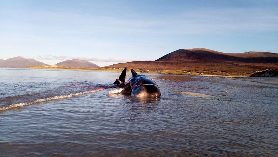 Muere otra ballena y hallan 100 kg de basura en su estómago