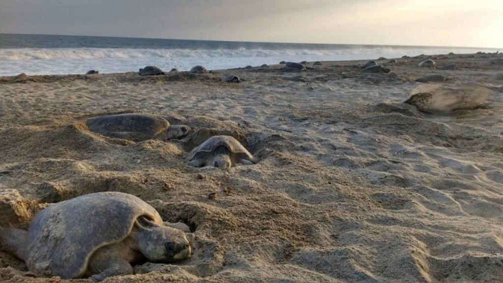 Imagen: Fallecen varias tortugas en las Bahías de Huatulco, 28 de diciembre de 2019 (Profepa)