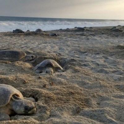 Hallan varias tortugas muertas en playas de las Bahías de Huatulco