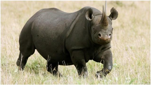 Imagen: Los rinocerontes negros es una especie en peligro de desaparecer, 28 de diciembre de 2019 (Getty Images)