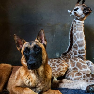 muere-jirafita-abandonada-madre-adoptada-perro-1