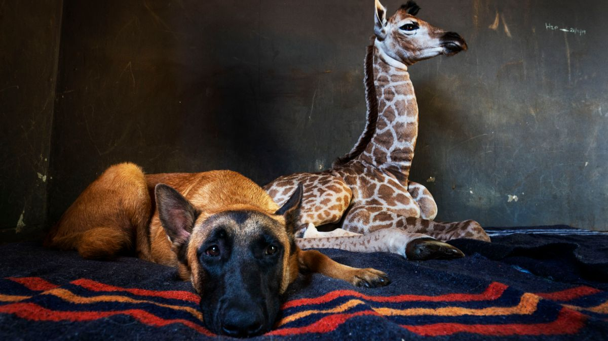 muere-jirafita-abandonada-madre-adoptada-perro-2