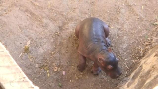FOTO: Nace cría de hipopótamo en Guanajuato, el 31 de diciembre de 2019