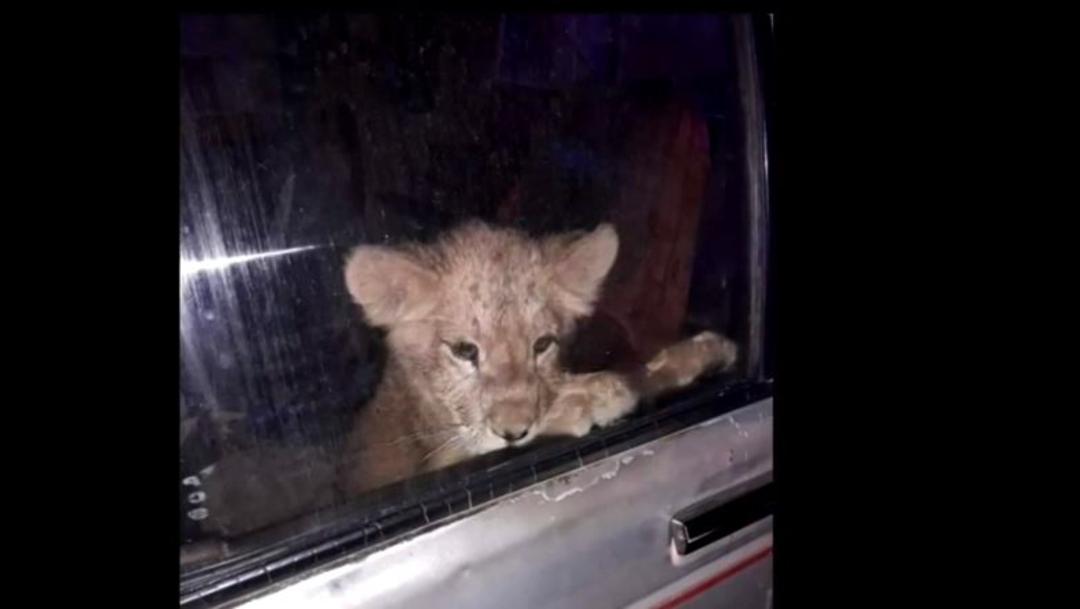 Rescatan a león cachorro abandonado en auto, el 06 de diciembre de 2019