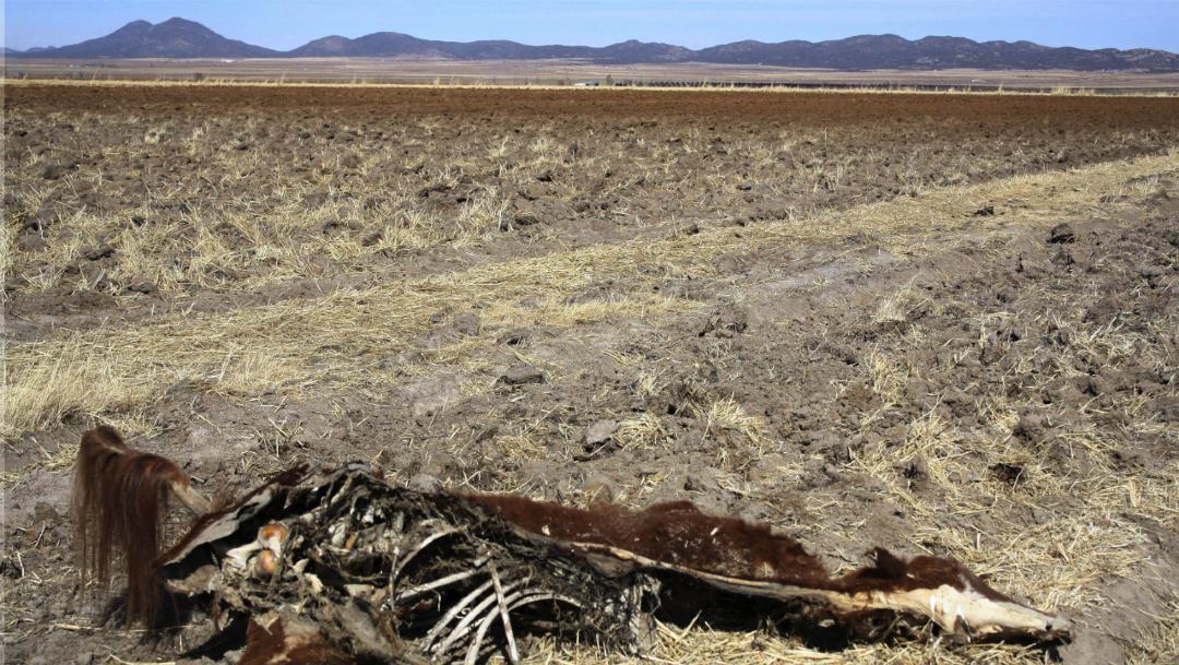 Foto: Cadáver de una vaca yace en un campo seco en Huisarorare, Chihuahua, tras severa sequía que golpea a México, 6 diciembre 2019