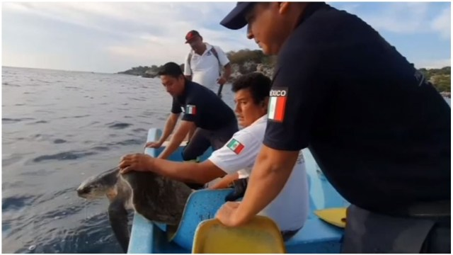 Foto: Rescatan a tortuga golfina que tenía anzuelo atorado en la garganta, 14 de diciembre de 2019 (Foro TV)