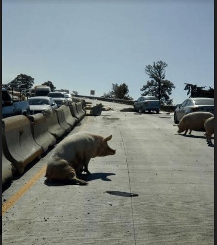 Foto: Vuelca camión con cerdos y pobladores se los roban