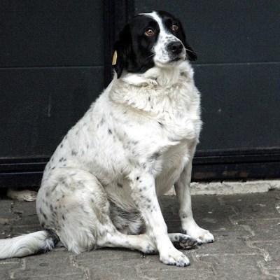 Kupata, el perrito callejero que ayuda a los niños a cruzar la calle