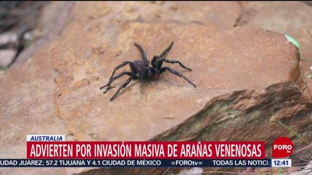 advierten por invasion masiva de aranas venenosas en australia