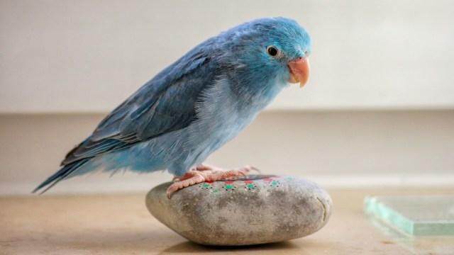 Azulejo de montaña, el 'pajarito de Twitter' de la vida real