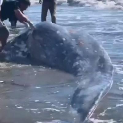 Foto: Encuentran ballena muerta en playas de Mazatlán, 26 de enero de 2020, (Noticieros Televisa)