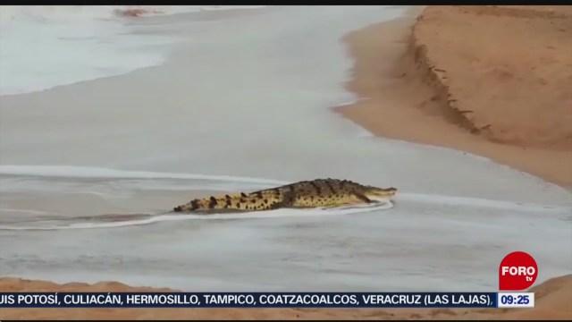 FOTO: 25 enero 2020, cocodrilo sorprende a turistas en playas de mazatlan