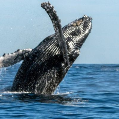 Foto: Una ballena gris salta en aguas del pacifico mexicano. Conanp