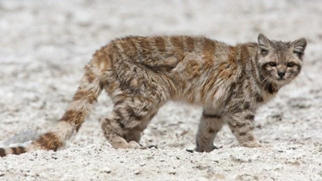 Gato andino aparece tras 12 años de ausencia en su hábitat