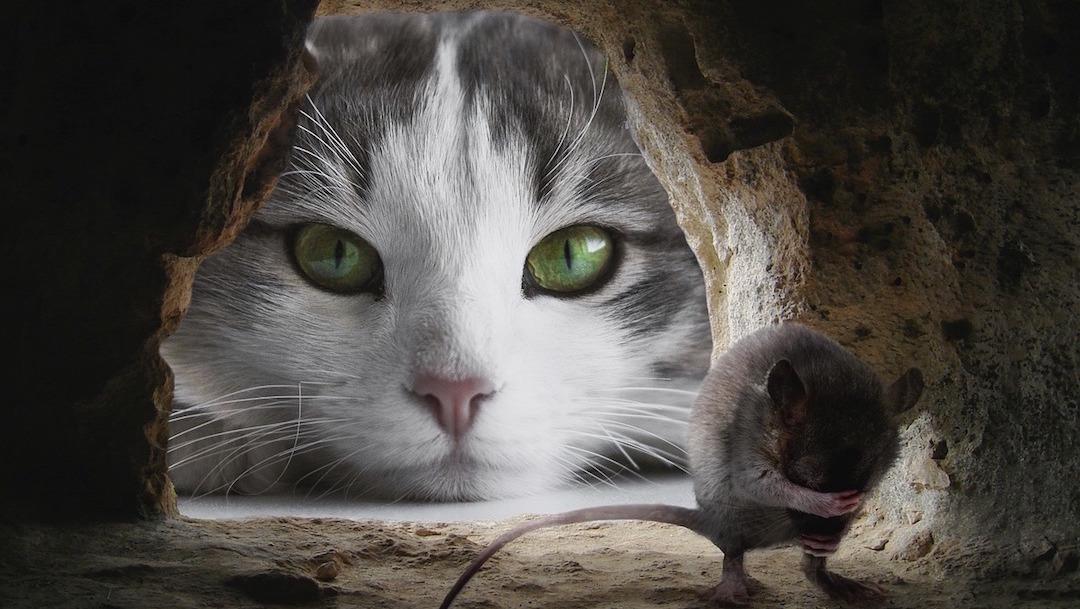Parásito Hace Que Los Ratones Pierdan El Miedo A Los Gatos Noticieros Televisa