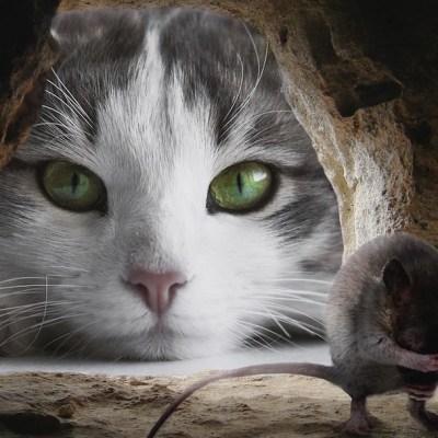 Este parásito hace que los ratones le pierdan el miedo a los gatos... y no solo a éstos