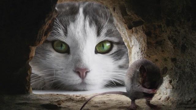 Parasito-afecta-ratones-Perder-miedo-gatos-toxoplasmosis-control-mental