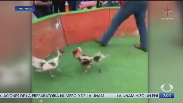 hijo de sindica celebra cumpleanos con pelea de gallos