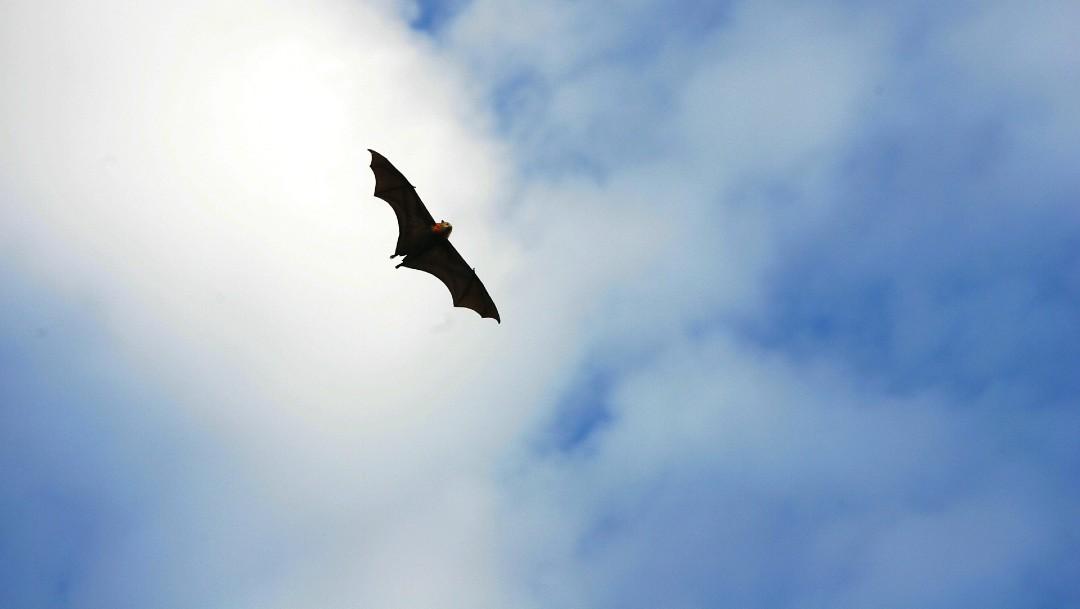 Murciélagos no son culpables del coronavirus: experto UNAM