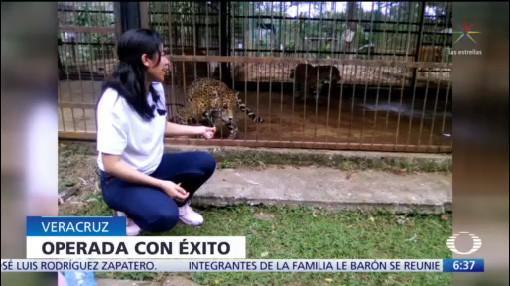 operan a mujer atacada por jaguar en un zoologico de cordoba