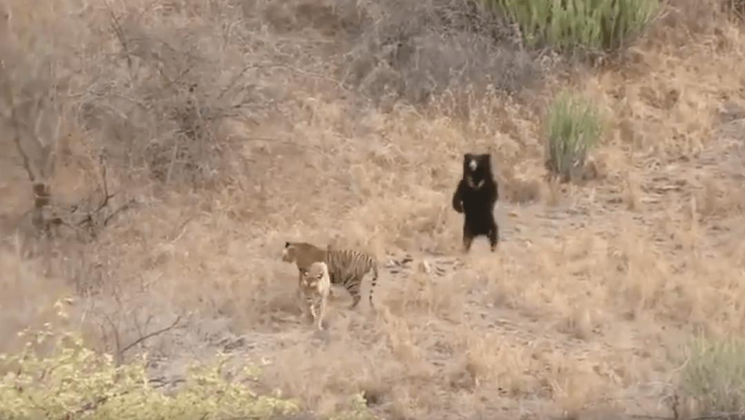 Foto Oso se enfrenta a dos tigres y sale victorioso 23 enero 2020