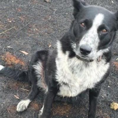 Patsy, la perrita que salvó a un rebaño de los incendios en Australia