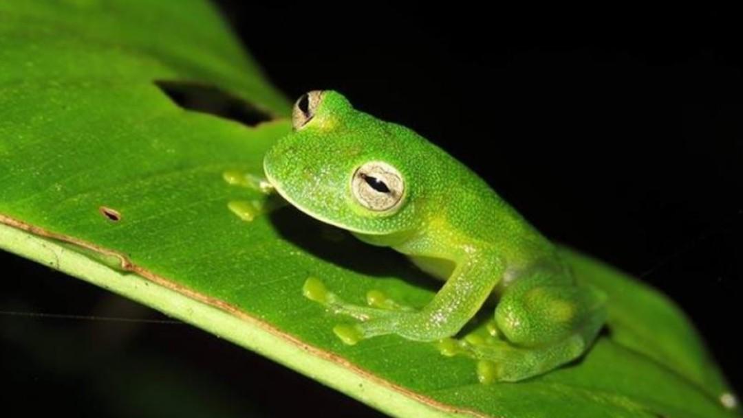 Rana Cristal reaparece después de 18 años de supuesta extinción