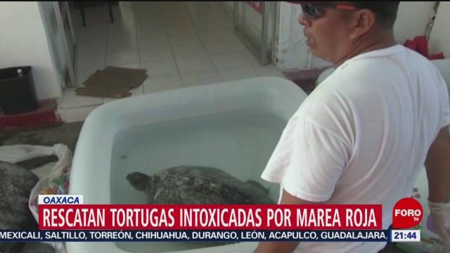 FOTO: 5 enero 2020, rescatan tortugas intoxicadas por marea roja