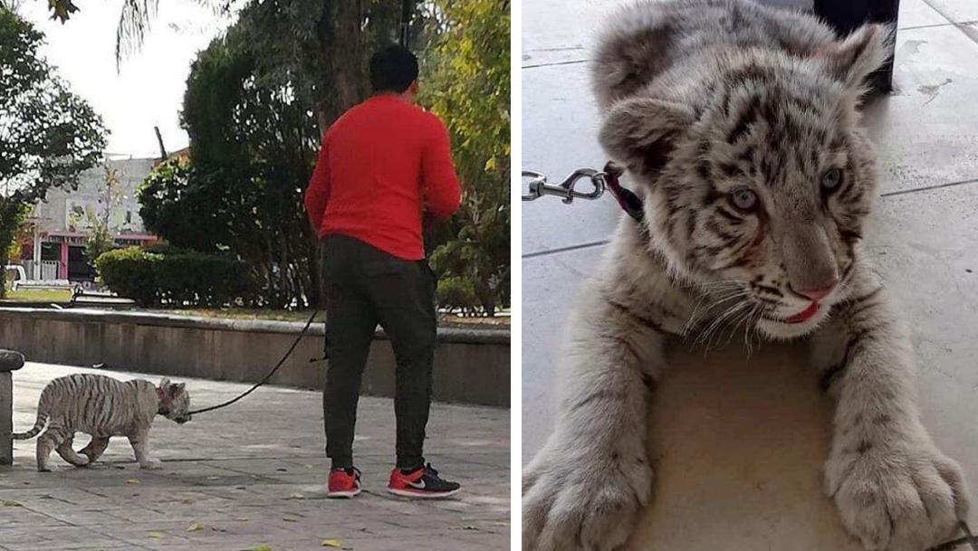 Profepa asegura a tigre siberiano que paseaban en SLP