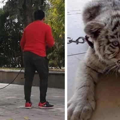 Profepa asegura a tigre siberiano que paseaba un hombre en San Luis Potosí