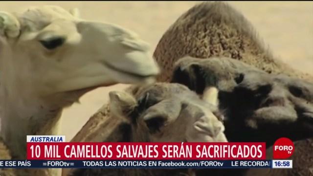 FOTO: unos 10 mil camellos salvajes seran sacrificados en australia