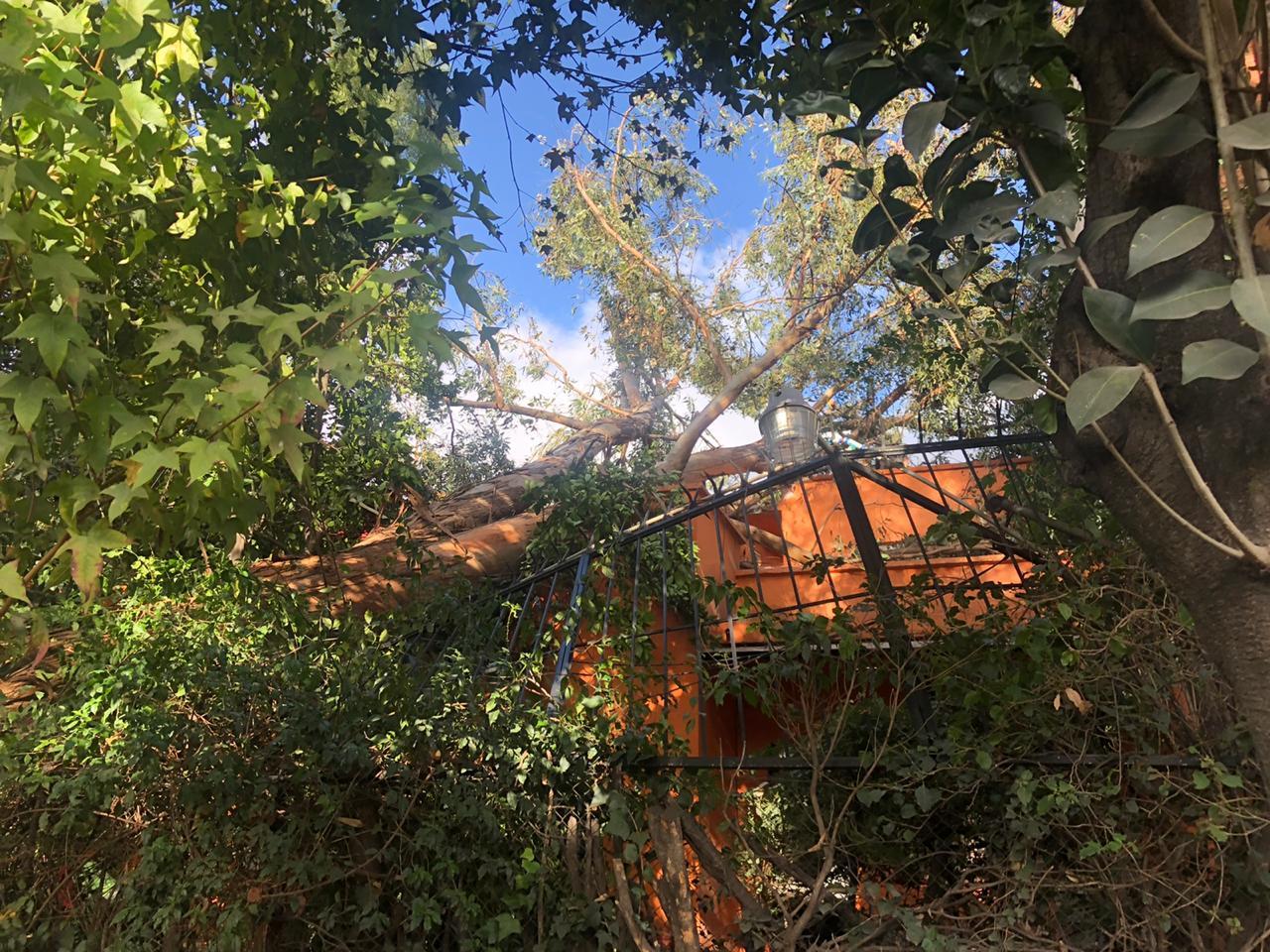 FOTO Vientos en CDMX tiraron 20 árboles y afectaron 4 vehículos (Noticieros Televisa)