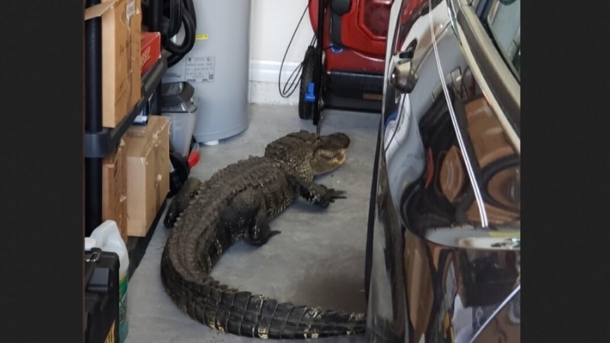 Hombre encuentra un caimán de 2 metros en su garaje