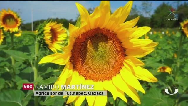 Foto: Campesinos Tututepec Oaxaca Plantan Girasoles Repoblar Abejas 11 Febrero 2020