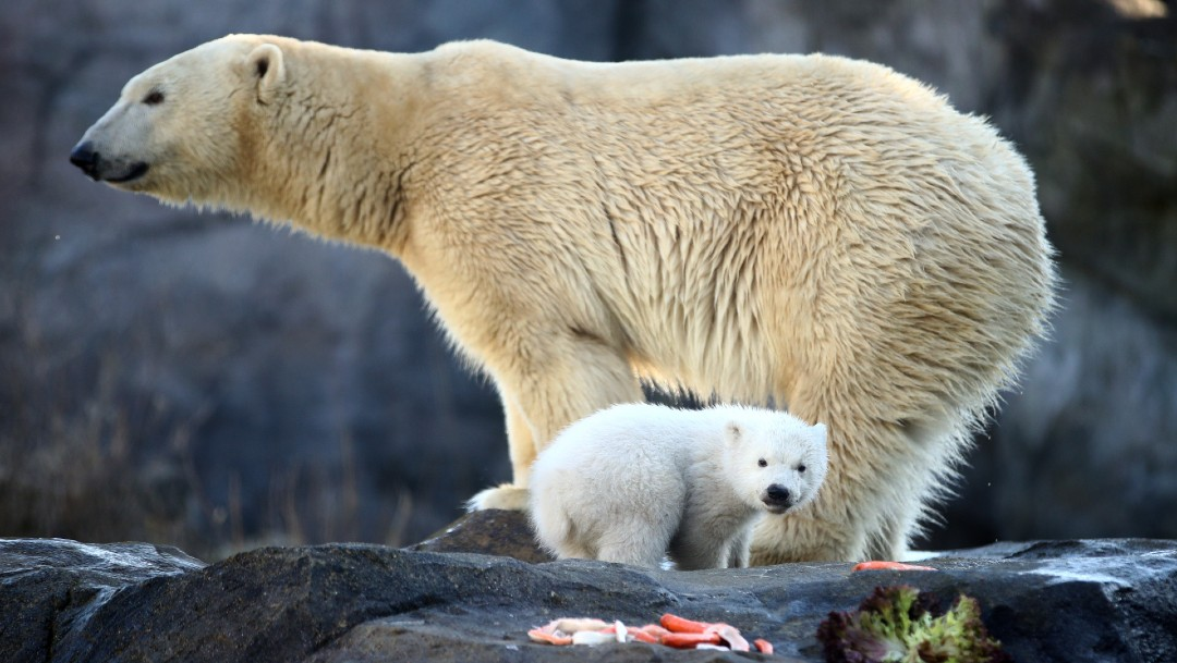 El Zoo De Viena Presenta Cría De Oso Polar Noticieros Televisa
