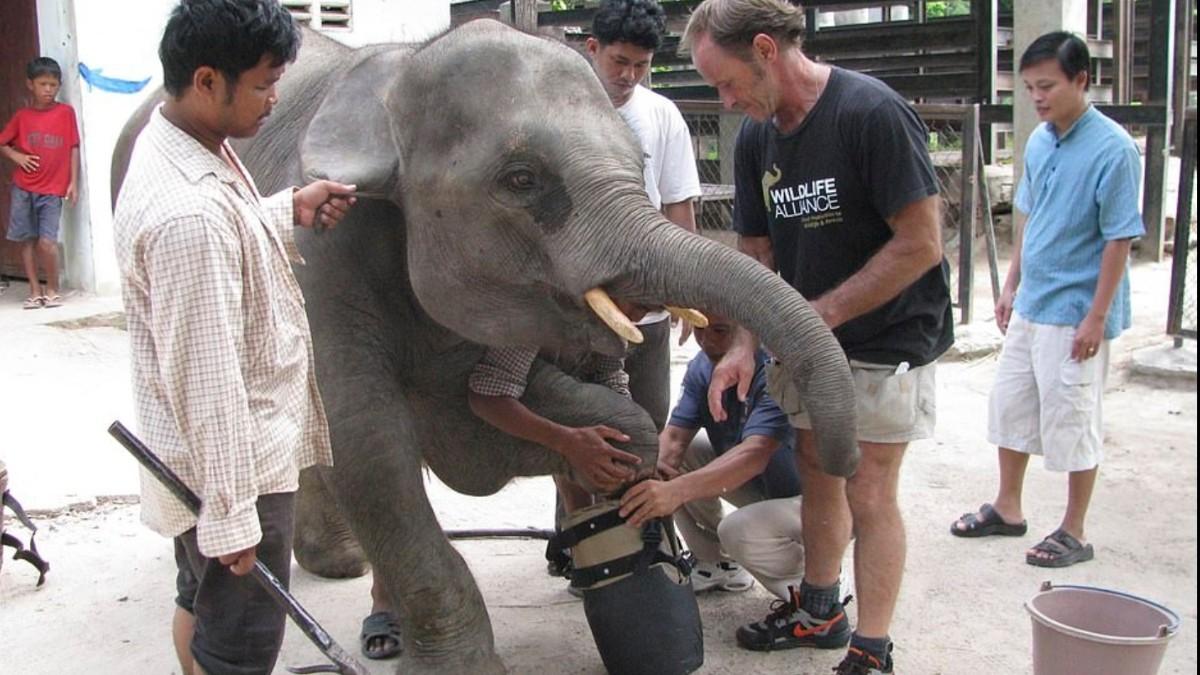 Elefante pierde extremidad por trampa de cazador