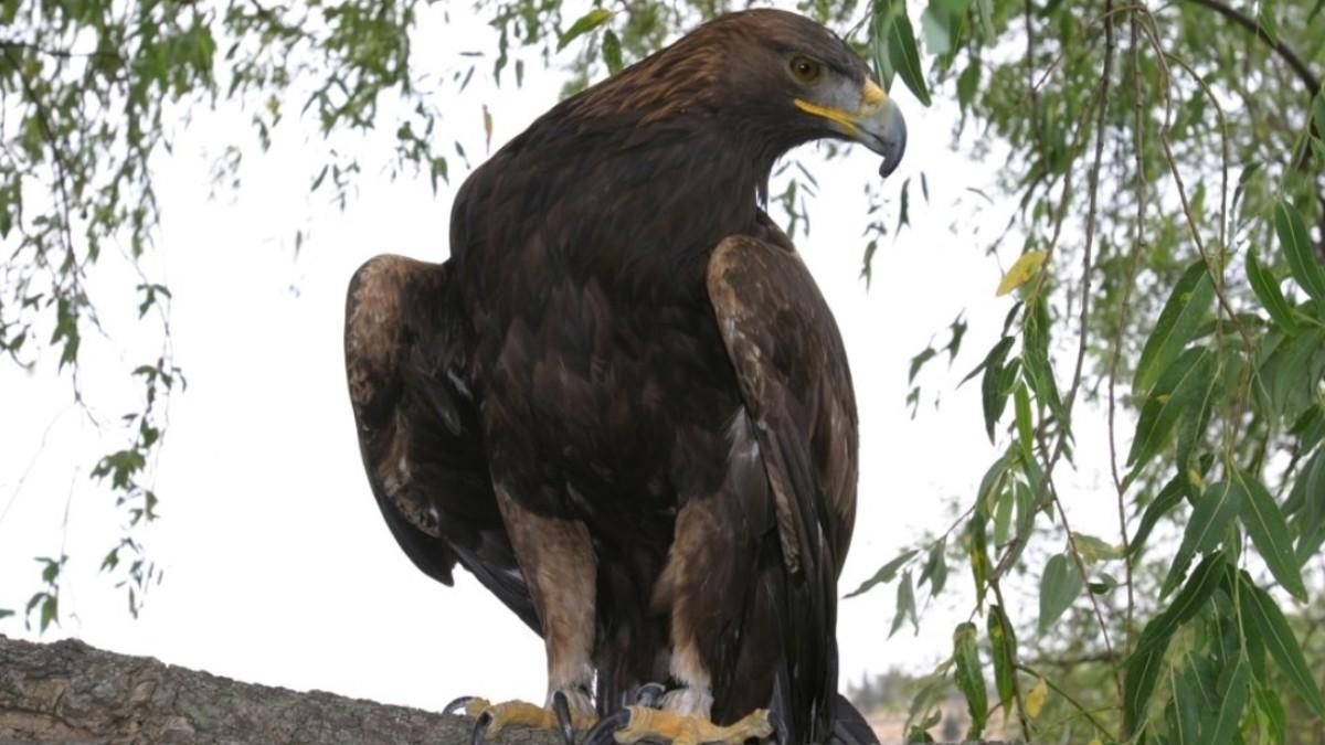 Foto: Águila real mexicana. Facebook/Profepa