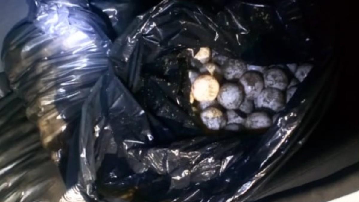 Foto: Huevos de tortuga golfina.