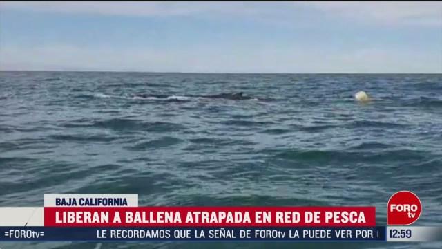 liberan a ballena atrapada en red de pesca