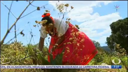 mujeres indigenas de oaxaca salen adelante produciendo pulque