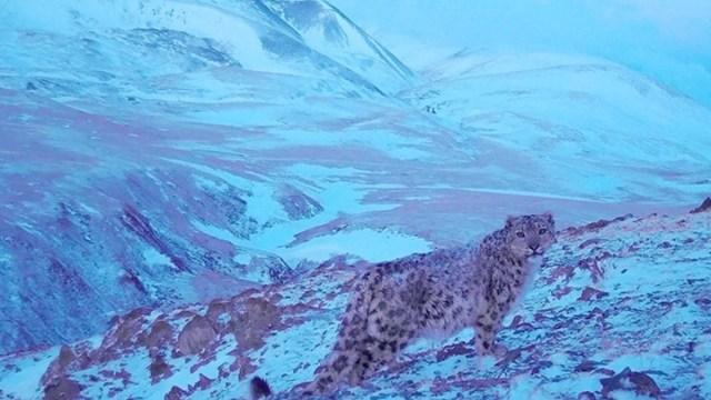 Captan a una 'pantera rosa' en las montañas de Siberia