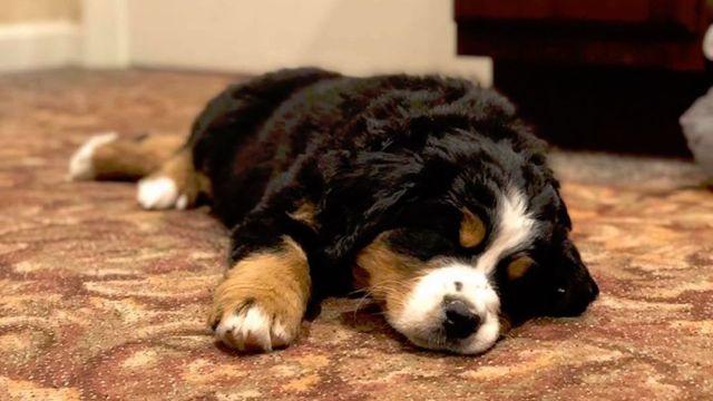 Perro-terapia-tierno-cachorro-funeraria-Carolina