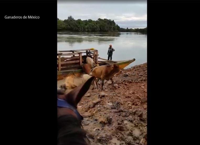 Así ingresa el ganado ilegal desde Centroamérica a México