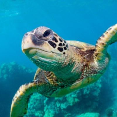 Tortugas marinas confunden el olor del plástico con alimento