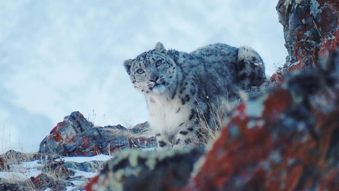 Foto: Captan a leopardo de las nieves en Rusia