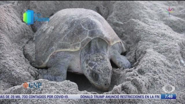 por el planeta conservacion de la tortuga marina